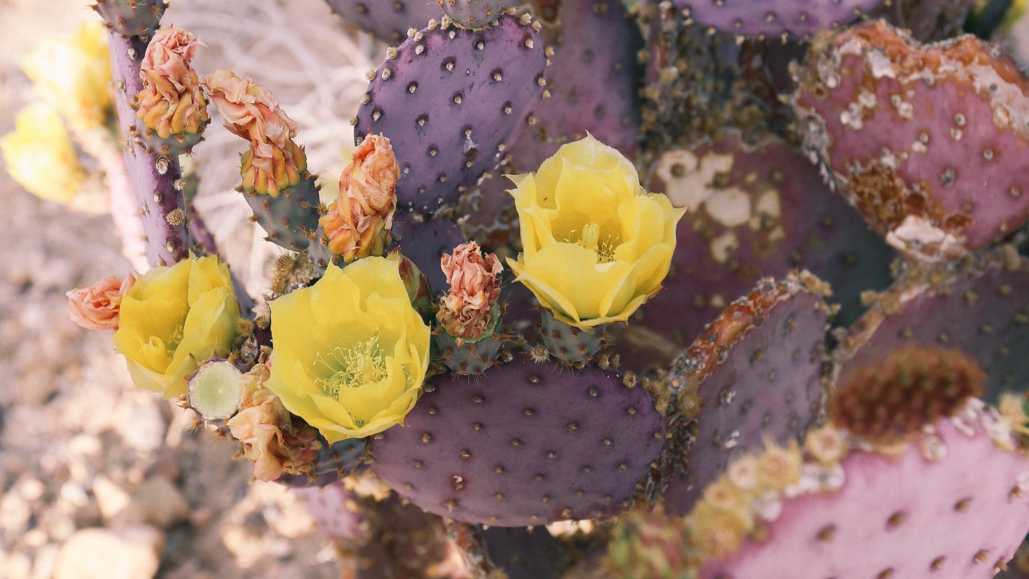 Purple prickly pear in bloom